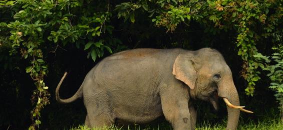 ... kelantan menangkap seekor gajah jantan liar di kawasan hutan simpan